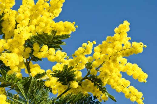 Come-coltivare-la-mimosa-in-vaso-990x470-c_modificato-1