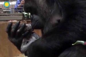 madre_gorilla_baci