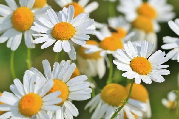 fiori-camomilla-600x400